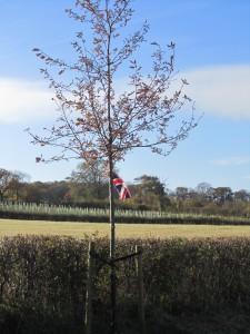 Barton's Jubilee Oak Tree